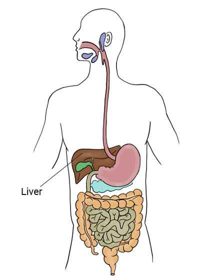 where is the liver located - 434×560
